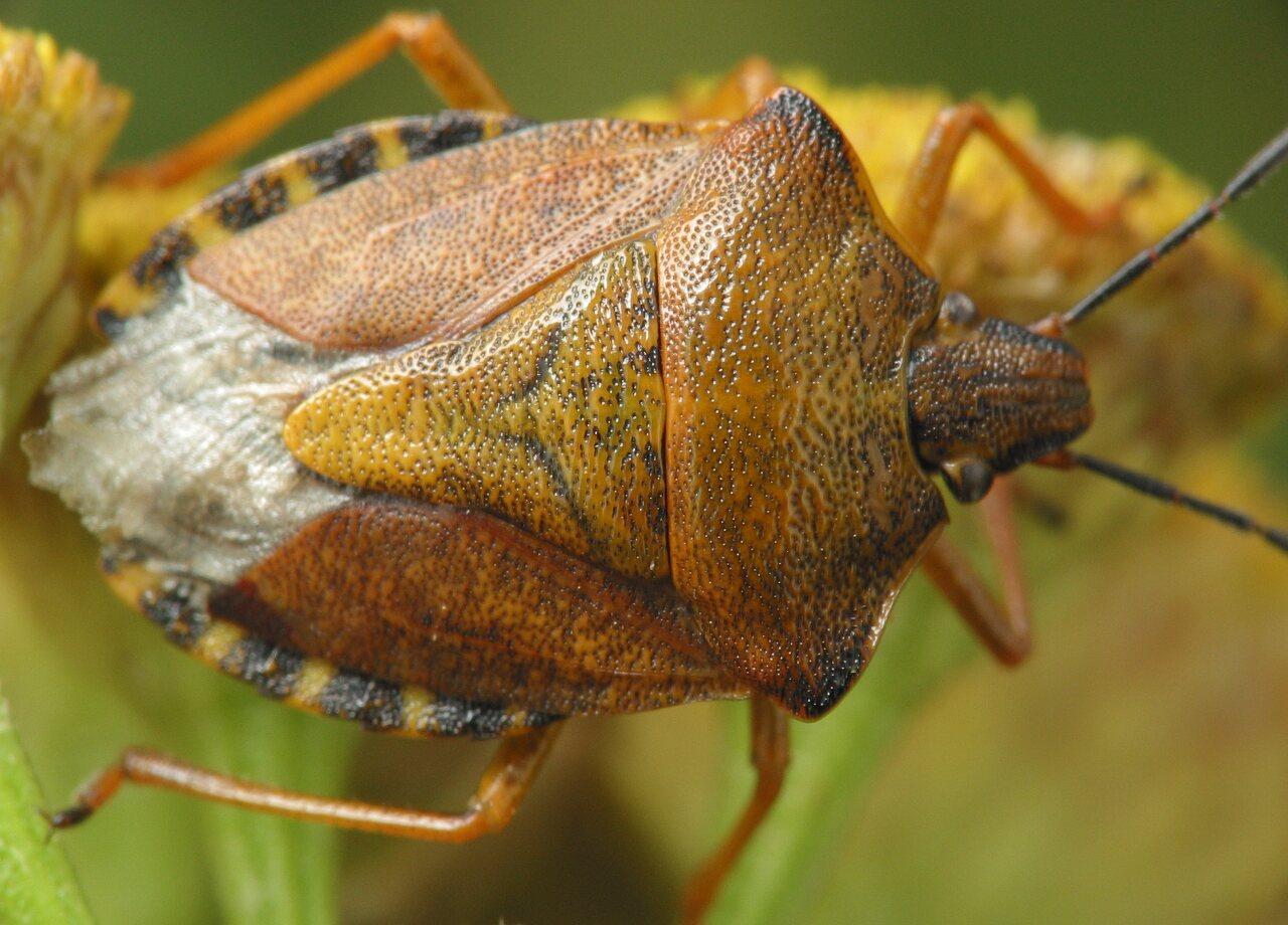 Carpocoris-pudicus-4227.jpg