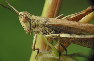 Acrididae 4230 · skėrys