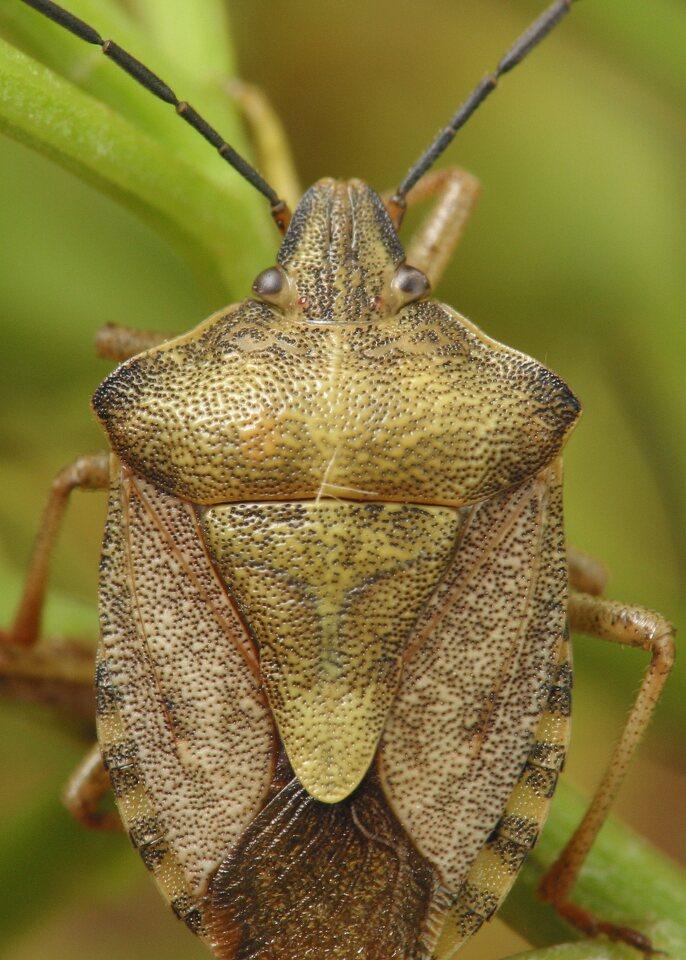 Carpocoris-pudicus-4231.jpg