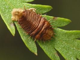 Cassidinae · skydinukai