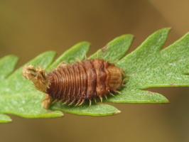 Cassida sp. larva · skydinukas, lerva