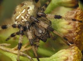 Araneus quadratus female · keturdėmis kryžiuotis ♀
