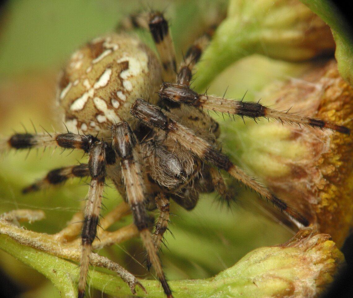 Araneus-quadratus-4253.jpg