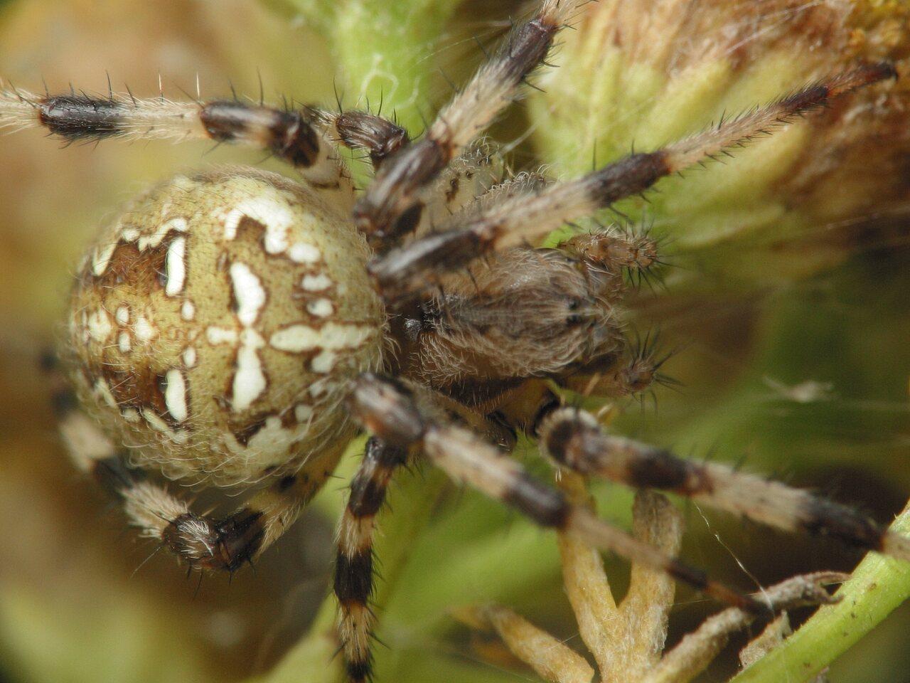 Araneus-quadratus-4256.jpg