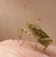 Rhopalidae · netikrosios kampuotblakės