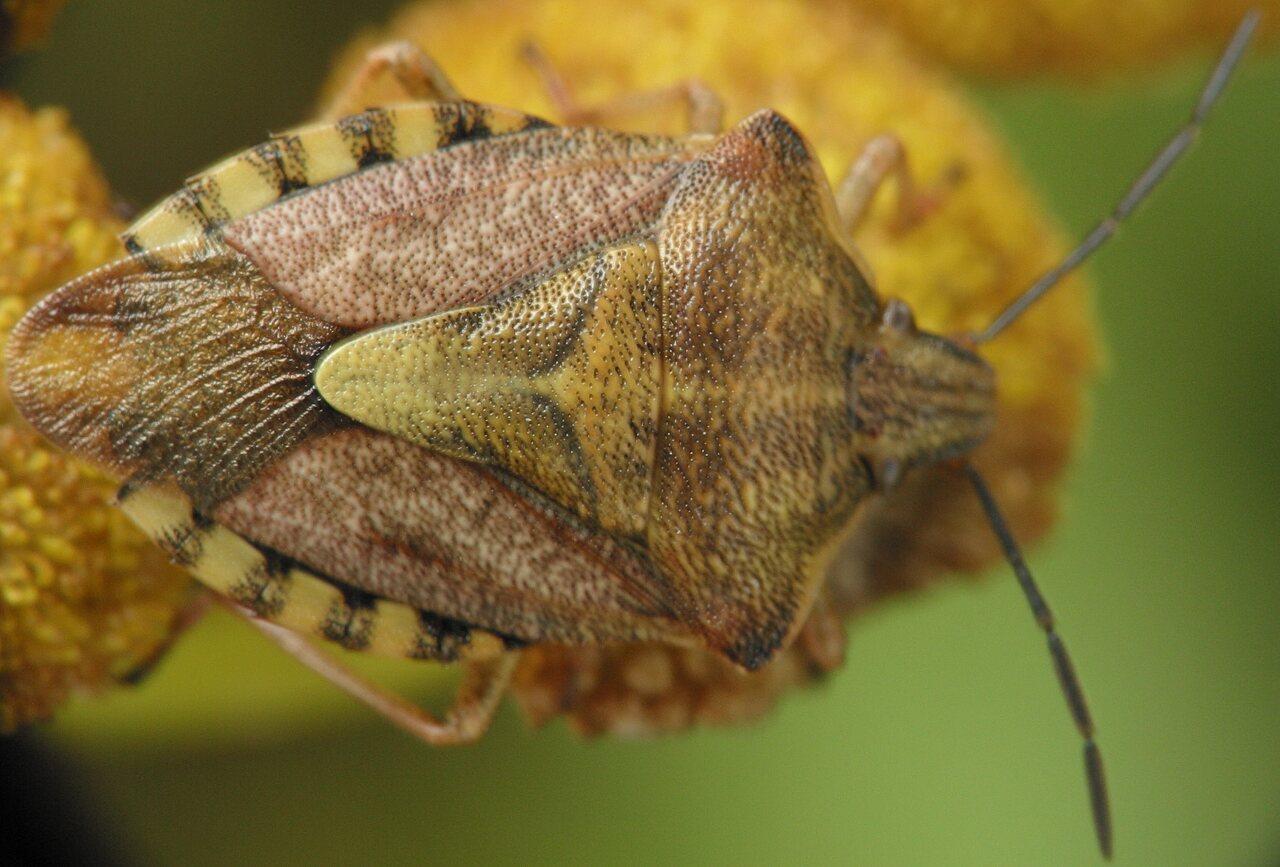 Carpocoris-pudicus-4268.jpg