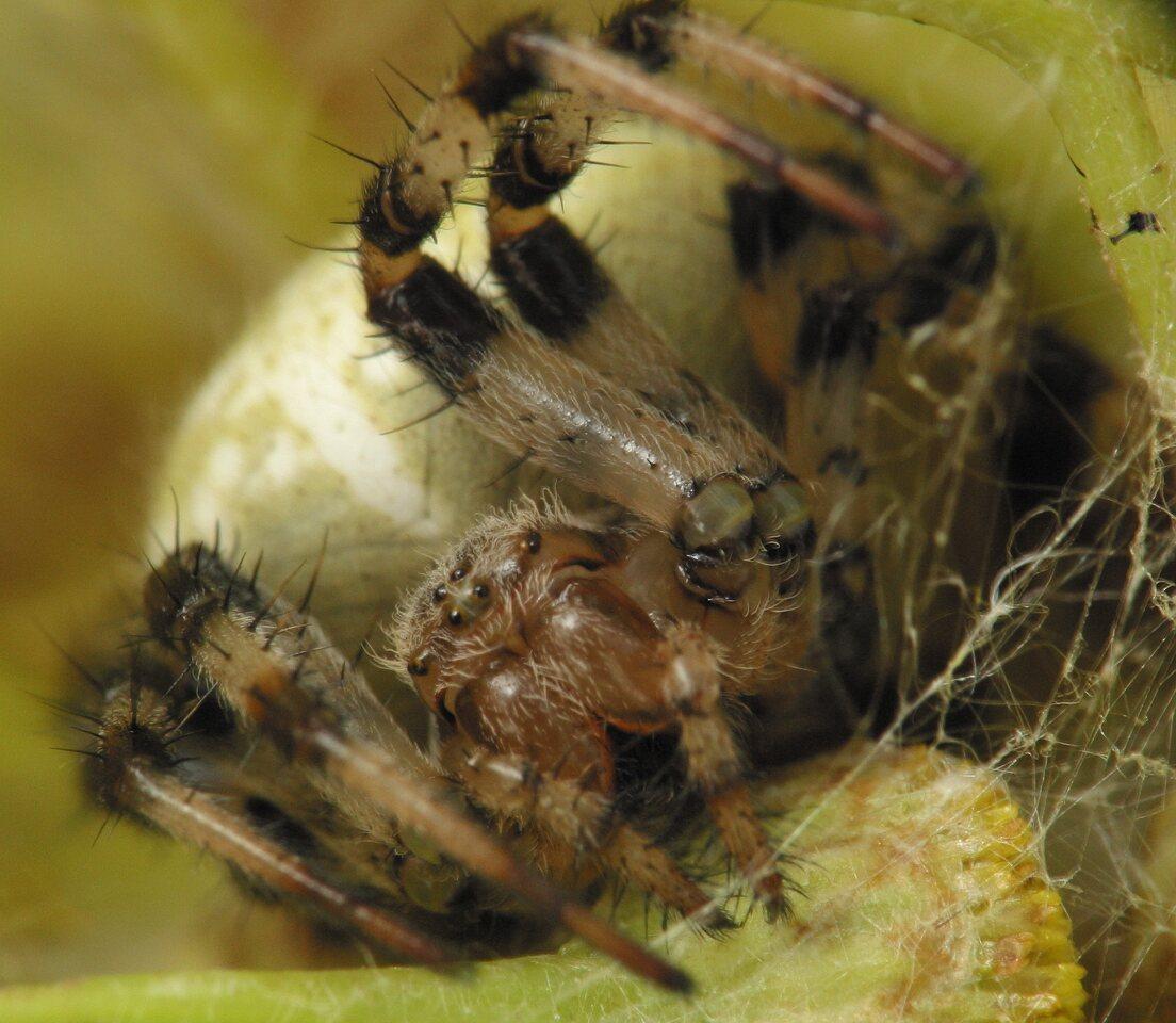 Araneus-quadratus-4270.jpg