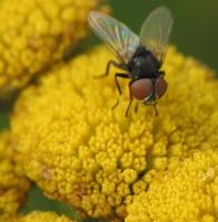 Diptera 4277