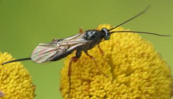 Hymenoptera 4279