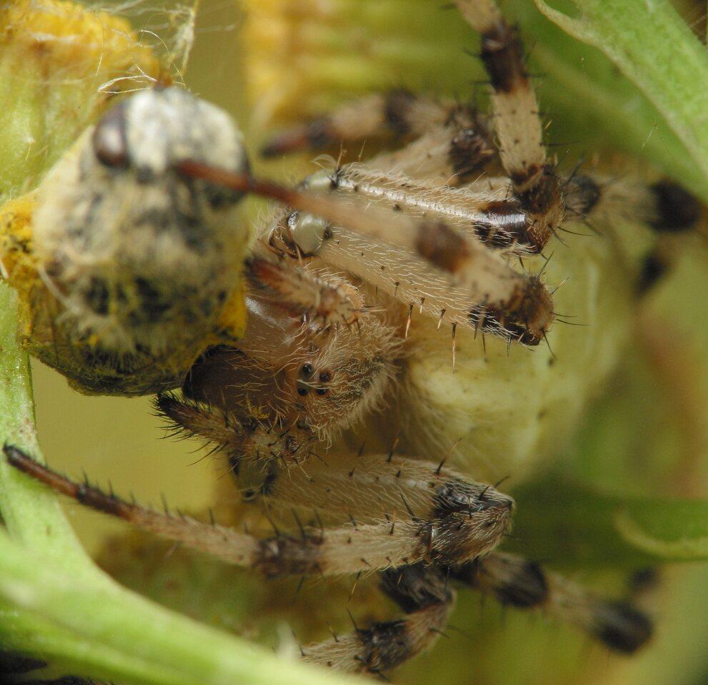Araneus-quadratus-4286.jpg
