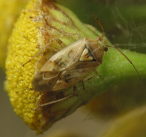 Lygus rugulipennis · įvairiaspalvė žolblakė