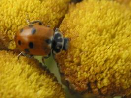 Adonia variegata · raiboji boružė