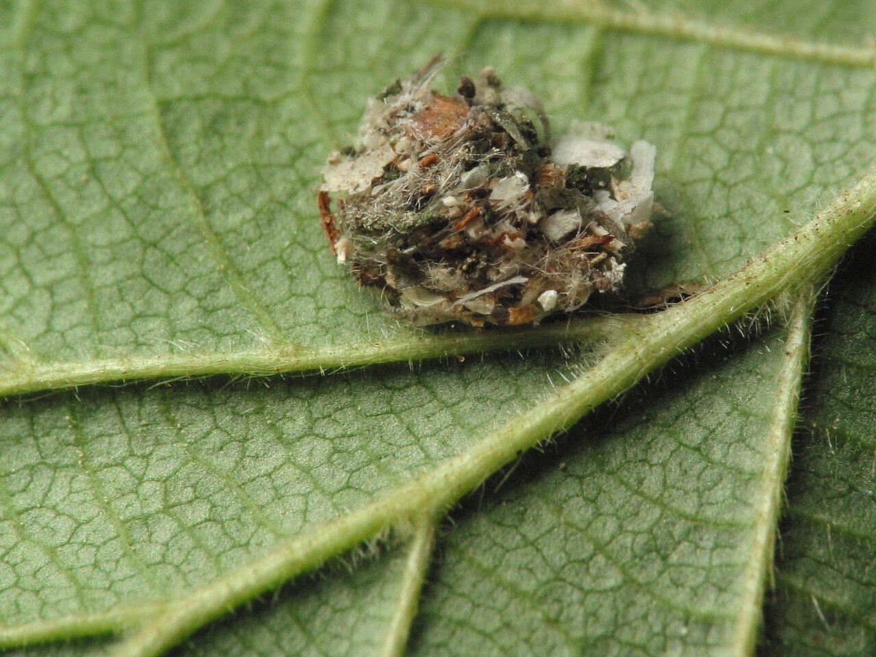 Chrysopidae-larva-4305.jpg
