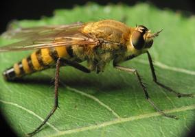 Thereva nobilitata female · pentinuotė ♀