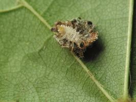 Chrysopidae larva · auksaakė, lerva