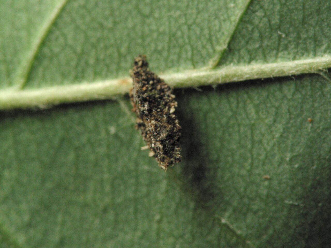 Chrysopidae-larva-4324.jpg