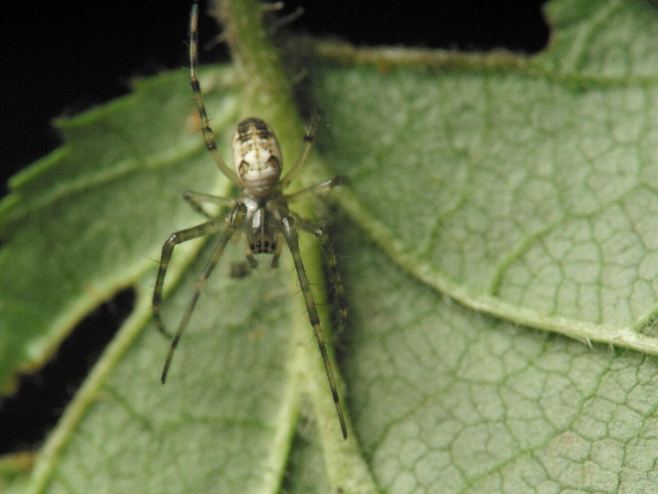 Tetragnathidae-4345.jpg
