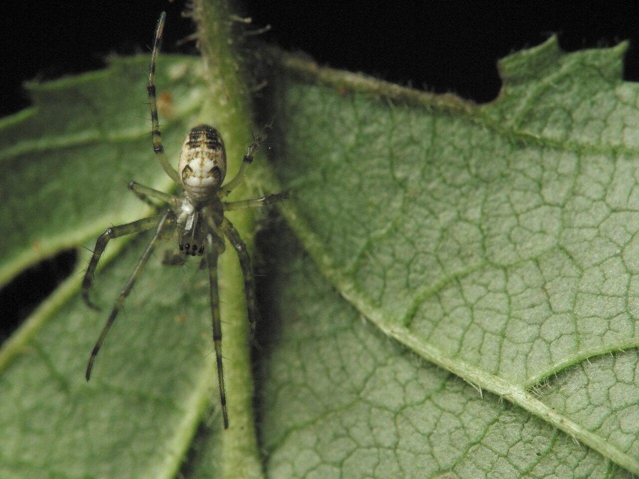 Tetragnathidae-4347.jpg
