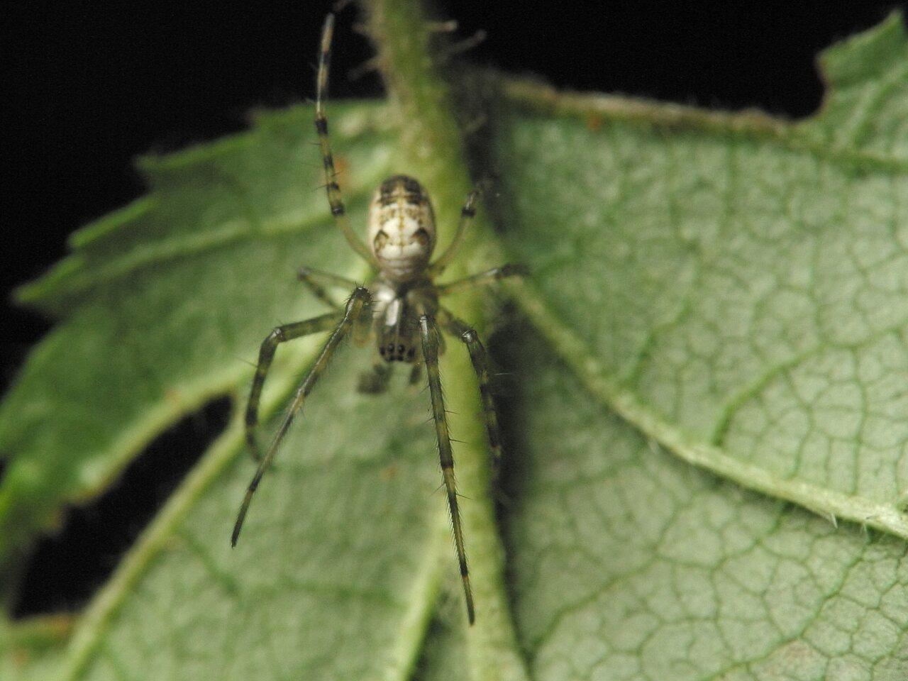 Tetragnathidae-4346.jpg