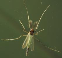 Diptera 4362