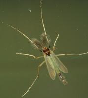 Diptera 4361