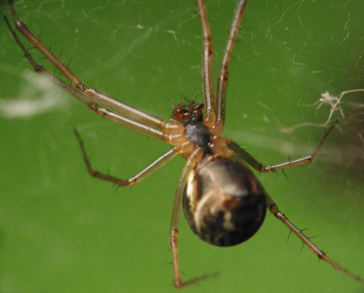 Theridiidae-4373.jpg