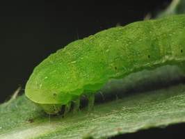 Insect larva