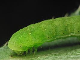 larva 4402