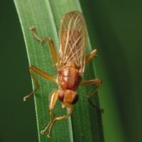 Diptera 4417