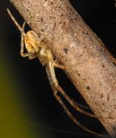 Metellina segmentata · rudeninis skylūnas