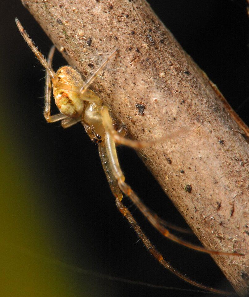 Tetragnathidae-4433.jpg