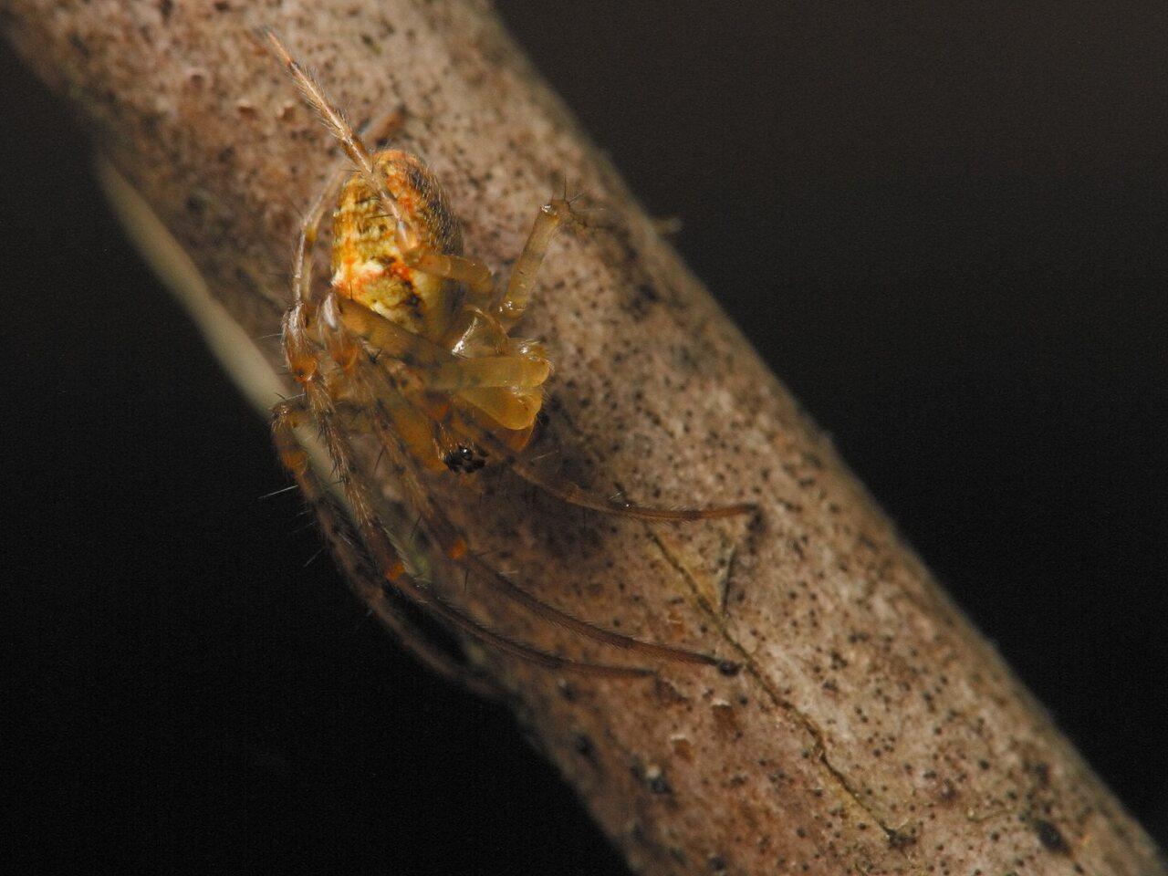 Tetragnathidae-4438.jpg