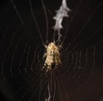 Araneidae, female · kryžiuotis ♀