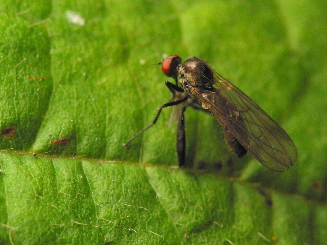 Empididae-4444.jpg