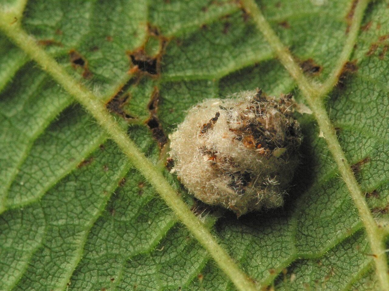Chrysopidae-larva-4449.jpg
