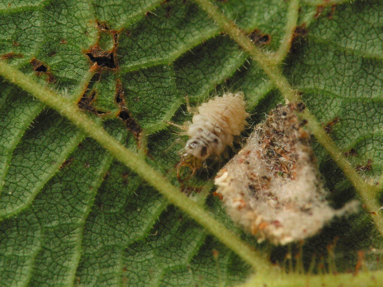 Chrysopidae-larva-4450.jpg