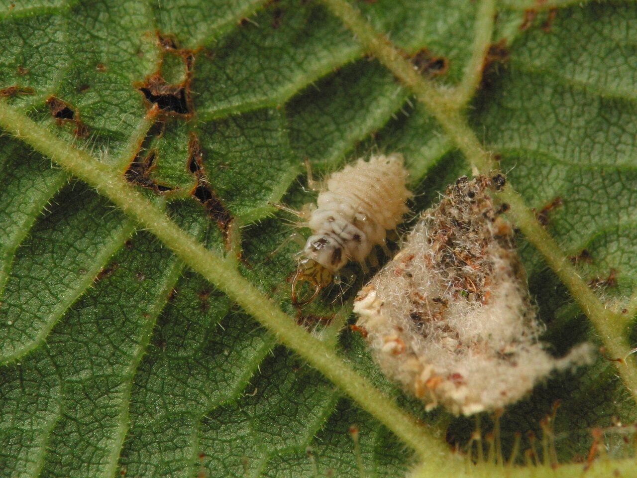 Chrysopidae-larva-4451.jpg