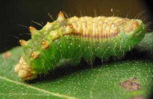 Drepana falcataria caterpillar · juodataškis lenktasparnis, vikšras