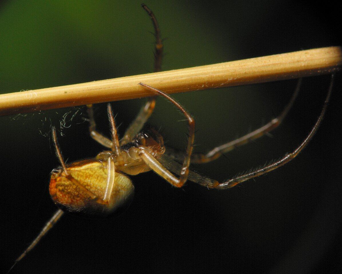Tetragnathidae-4475.jpg