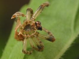 spider exuviae 4545