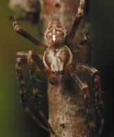Araneus diadematus male · paprastasis kryžiuotis ♂