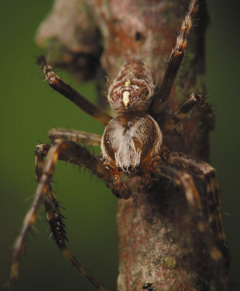 Araneus-diadematus-4556.jpg