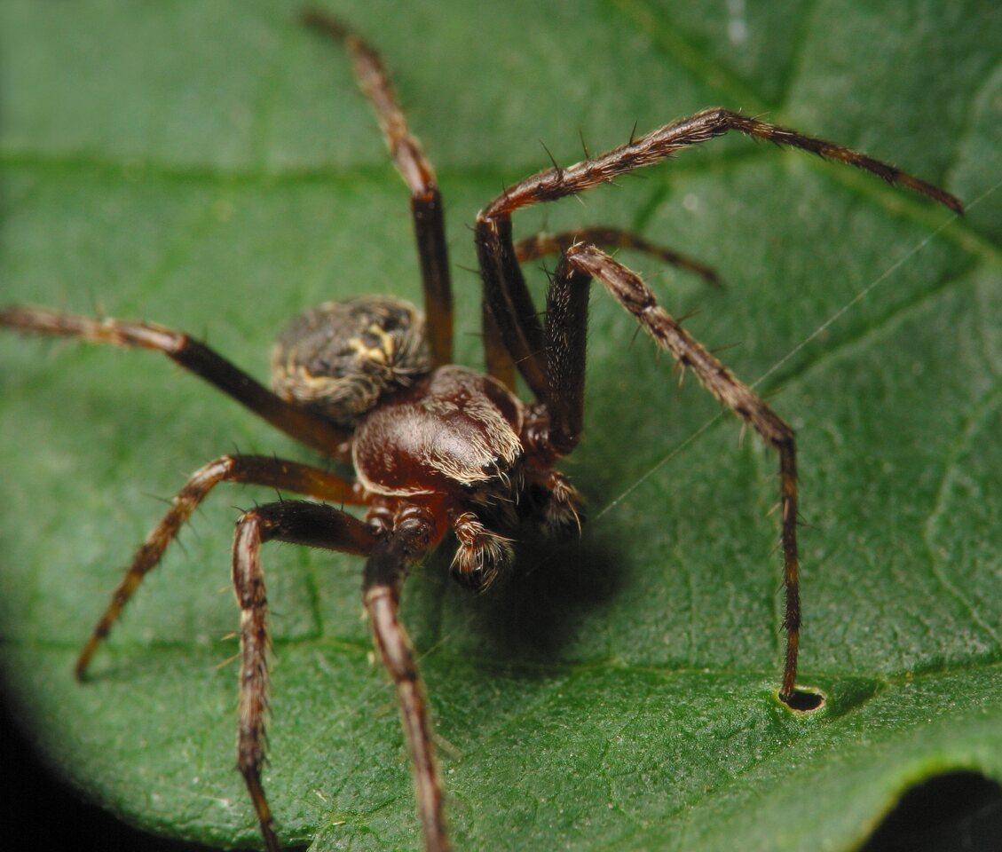 Larinioides-patagiatus-4565.jpg