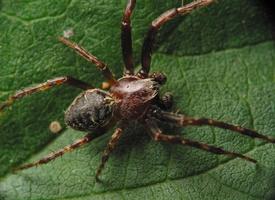 Larinioides patagiatus male · pleištadėmis žnypliavoris ♂