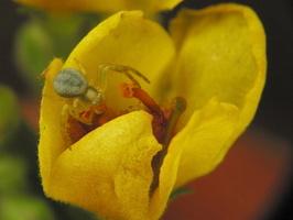 Misumena vatia juvenile · geltonasis žiedvoris, jauniklis
