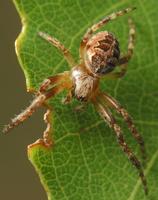 Larinioides patagiatus female · pleištadėmis žnypliavoris ♀