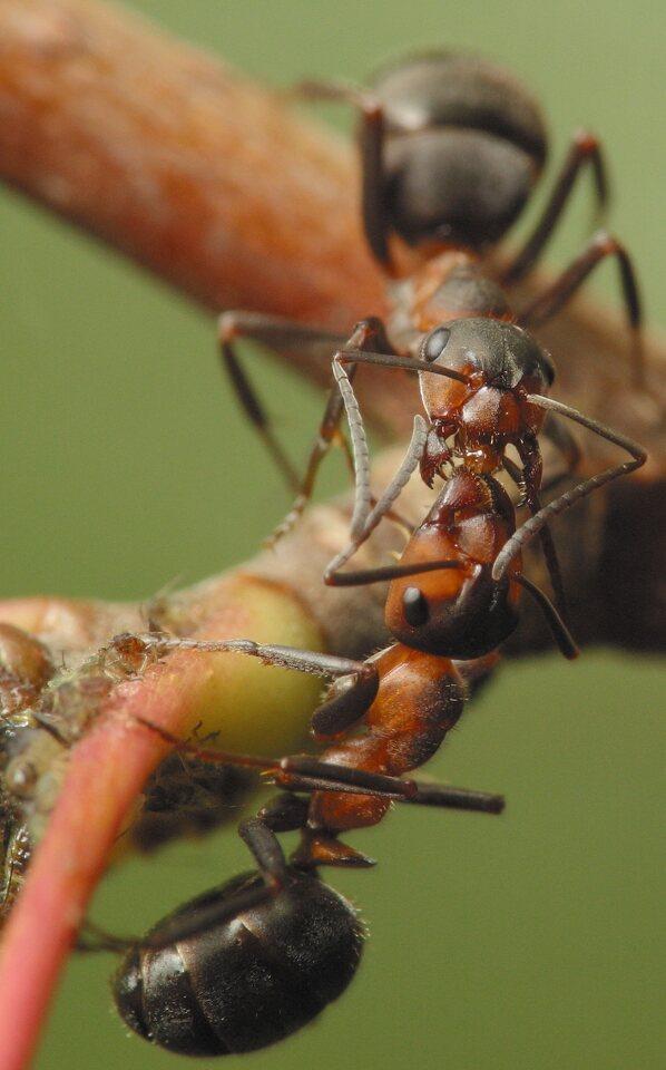Formicidae-4592.jpg