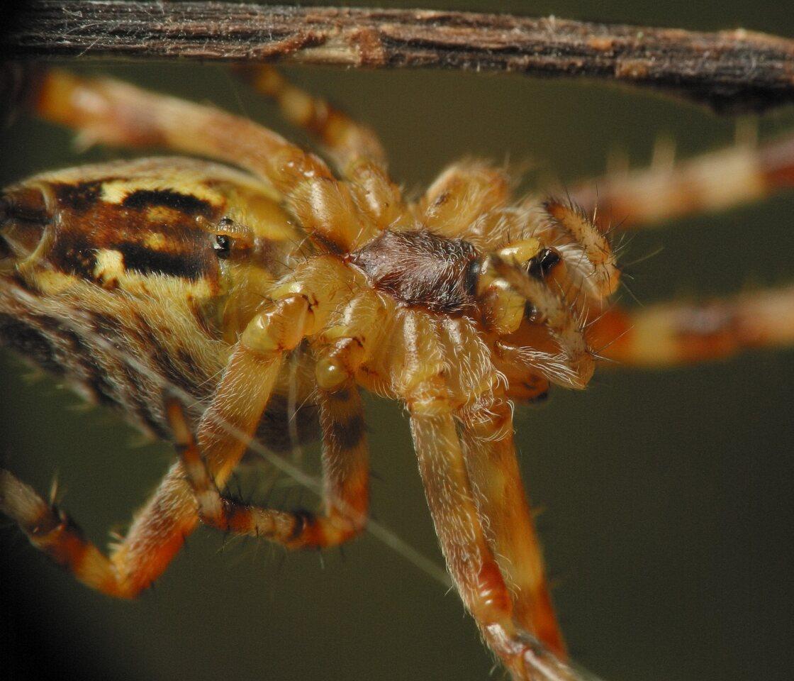 Araneus-diadematus-4602.jpg