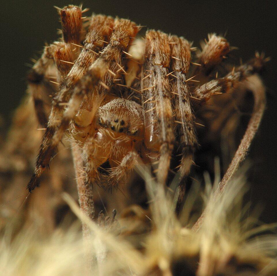 Araneus-diadematus-4609.jpg