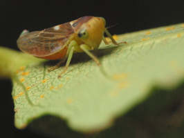 Populicerus populi · tuopinė cikadelė